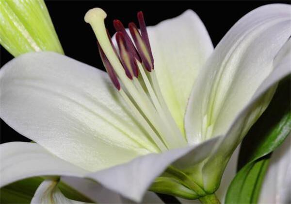 百合花盆栽开花后该怎么修剪 百合花盆栽花苞蔫了怎么办
