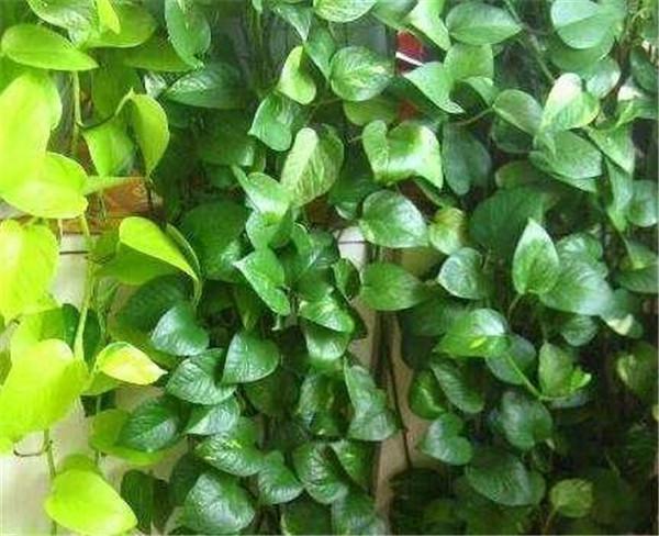 花叶绿萝有毒吗 家里千万不能养的6种花