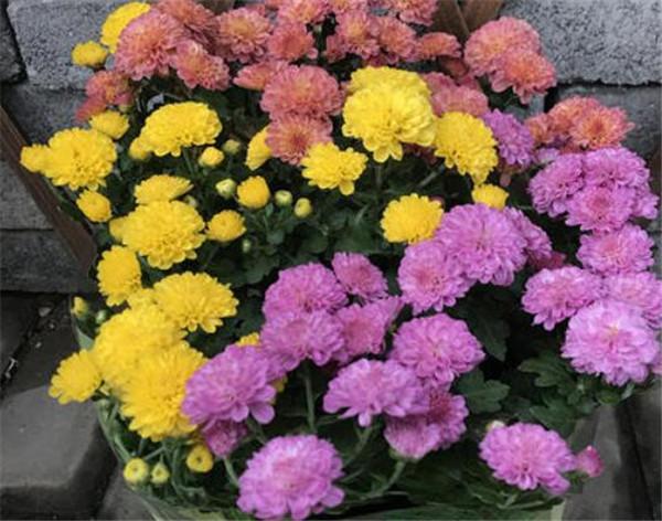 美人菊的种植方法和注意事项 美人菊的花语和寓意