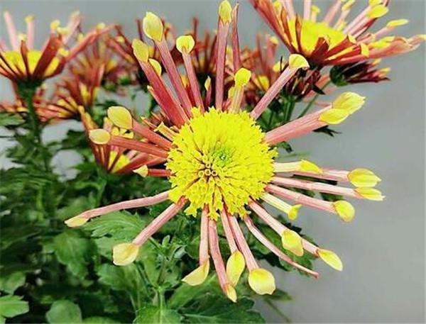 美人菊花期多长时间 美人菊一年开几次花