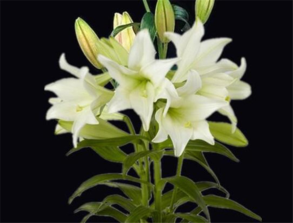 香水百合盆栽怎么浇水 盆栽香水百合叶子黄了怎么办