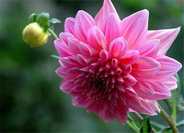 种大丽花用深盆还是浅盆好 大丽花怎样扦插