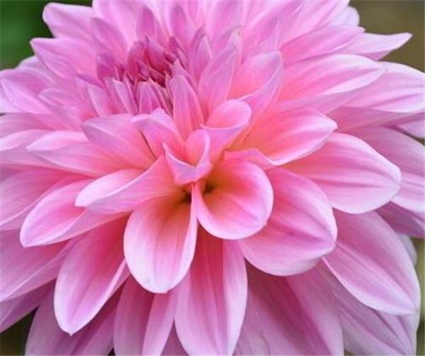 大丽花种子种植技术 大丽花一年开几次花