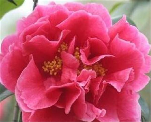 茶花粉的功效与作用 茶花什么时候开花图片