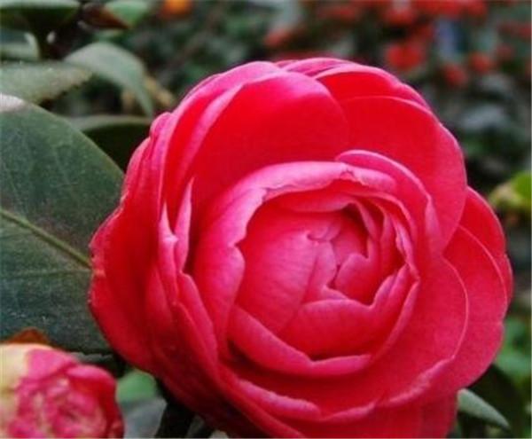 山茶花图片花语 山茶花是什么颜色的