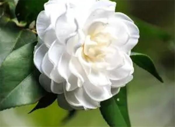 白茶花的花语和象征寓意 白茶花几月开