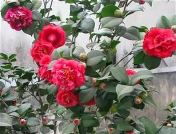 玛丽安茶花优缺点 玛丽安茶花什么时候开花