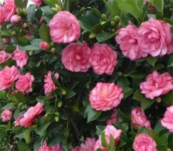四季茶花有几个品种 适合北方盆栽的茶花品种