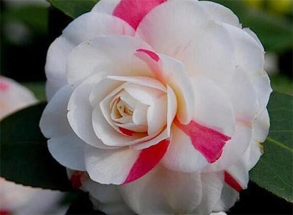 四季茶花落叶什么原因 四季茶花用什么土栽最好