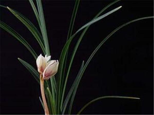 墨兰什么时候开花 墨兰一年几次发芽