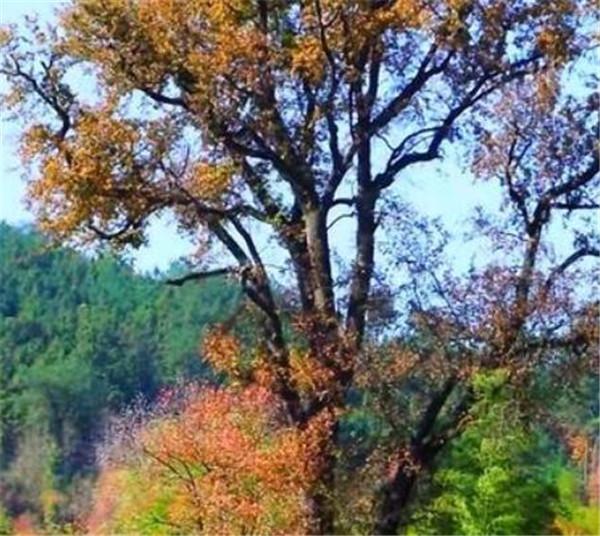 乌柏树与乌桕的区别 乌桕树有何寓意