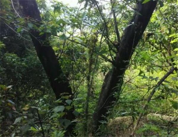 乌桕树有毒吗 乌桕树能种在院子里面吗