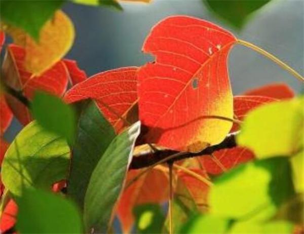 红叶乌桕盆景怎么养 生长期与生长周期区别