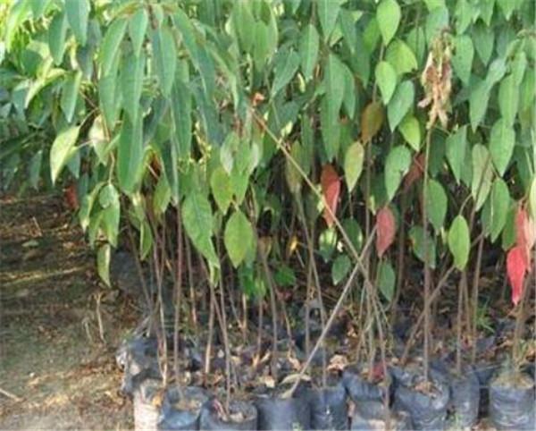 山乌桕树什么时候开花 山乌桕种植方法
