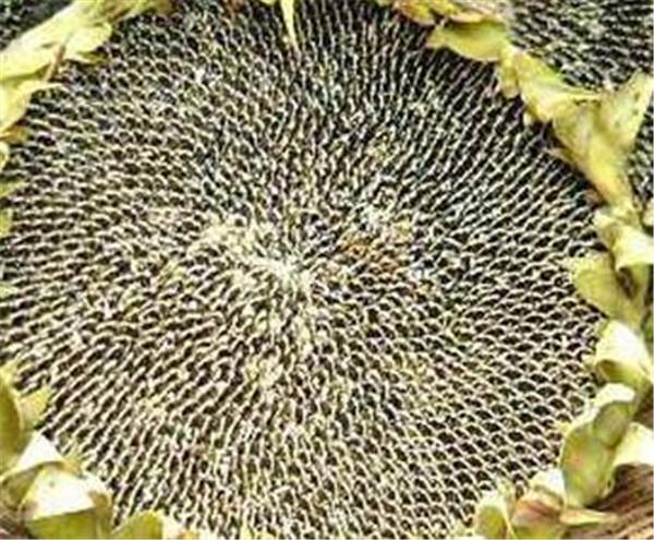 葵花油和花生油哪个对身体好 葵花油对身体有什么好处与害处