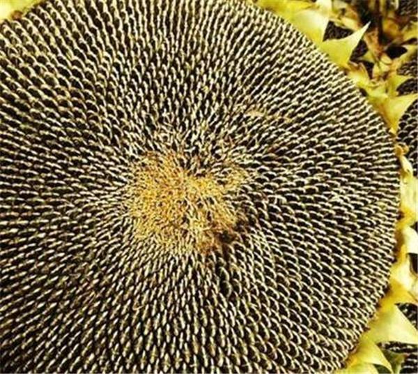 葵花籽产地是哪里 新疆葵花籽什么时候成熟