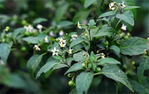 少花龙葵和龙葵的区别 少花龙葵的功效与作用