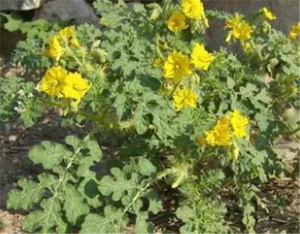 刺萼龙葵对人有害吗 刺萼龙葵清除办法