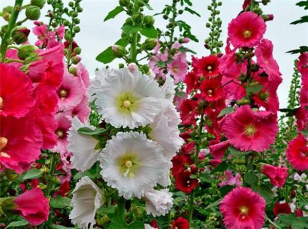 蜀葵的种植方法和注意事项 蜀葵花几月份开