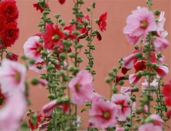 蜀葵花的花语和寓意 蜀葵种子怎么催芽