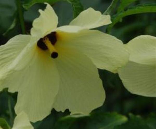 黄蜀葵种子多少钱一斤 黄蜀葵花怎么种植