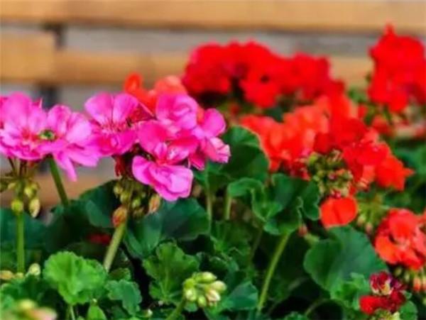 天竺葵的养殖方法 天竺葵花期有多长时间
