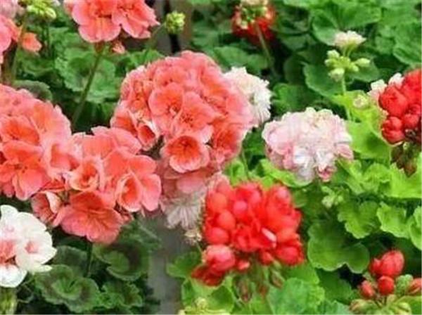 天竺葵哪个品种最勤花 天竺葵最贵的品种