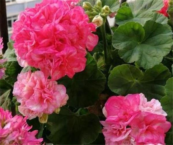 天竺葵哪个品种最漂亮 天竺葵红色最好看的经典品种