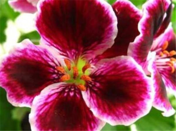 大花天竺葵一年开几次花 大花天竺葵的花期有多长