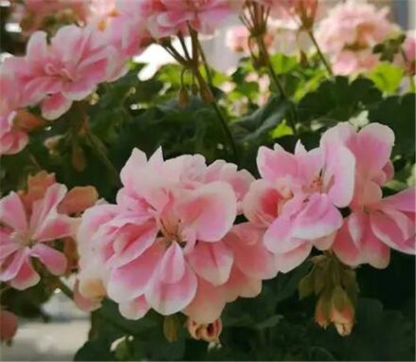 大花天竺葵和普通天竺葵的区别 大花天竺葵花后怎么修剪