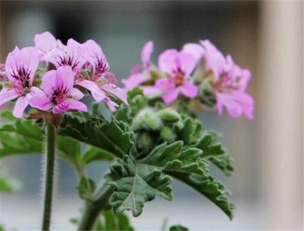 香叶天竺葵扦插方法 香叶天竺葵可以水培吗