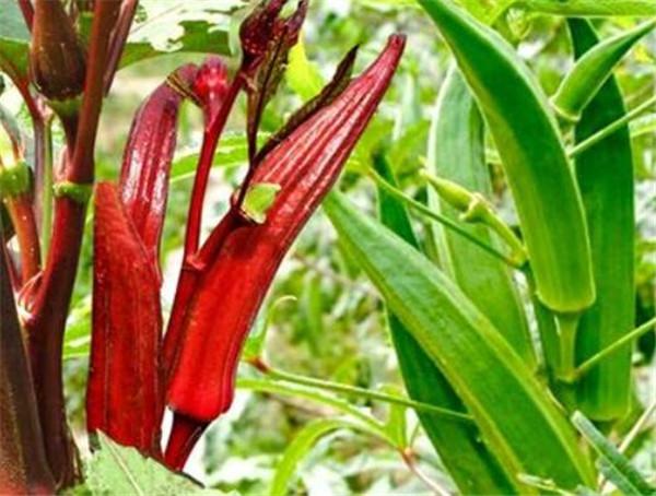 红秋葵和黄秋葵哪个好吃 秋葵怎样育苗才能出全