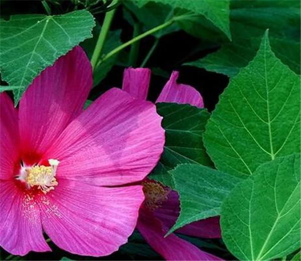 大花秋葵的种植技术 冬葵和秋葵有什么区别