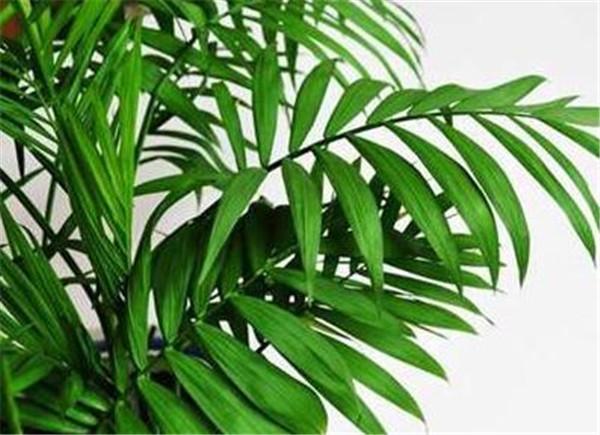 散尾葵的寓意与风水 散尾葵多久浇一次水