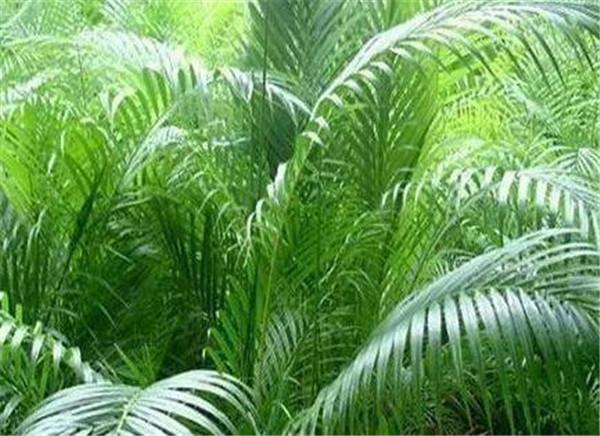 散尾葵和凤尾竹的区别 散尾葵适合放客厅吗