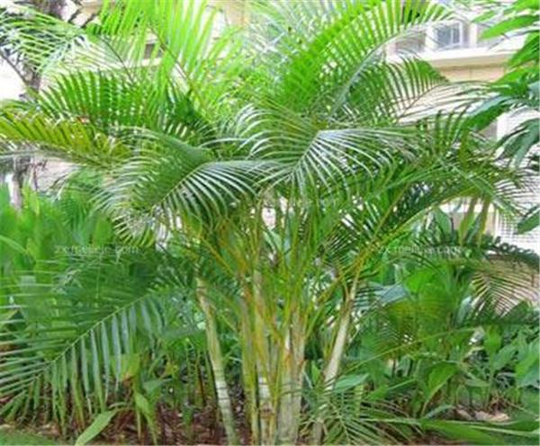 散尾葵叶子发黄的治疗 散尾葵在室内怎么养
