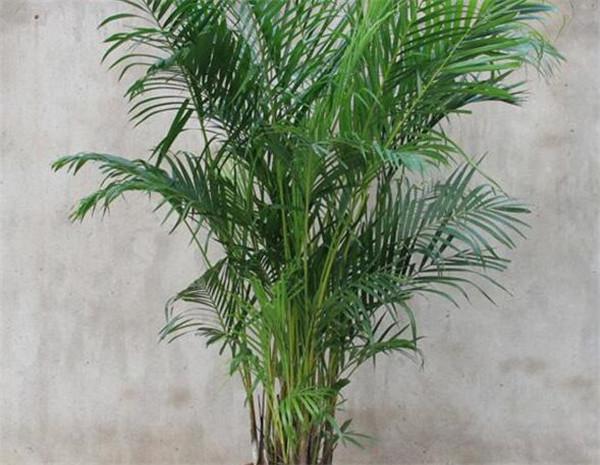 散尾葵怎么繁殖分株扦插 散尾葵可以浇淘米水吗