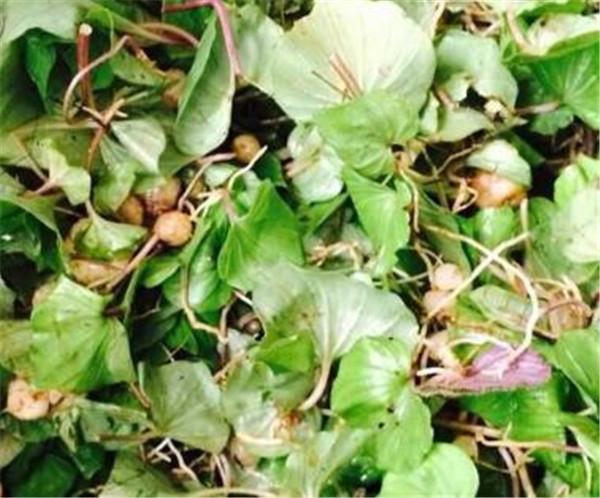 青天葵与什么搭配煲汤 青天葵的作用与功效