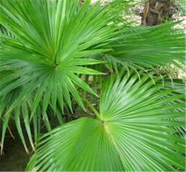 蒲葵和棕榈的区别 蒲葵移栽成活率什么时候高