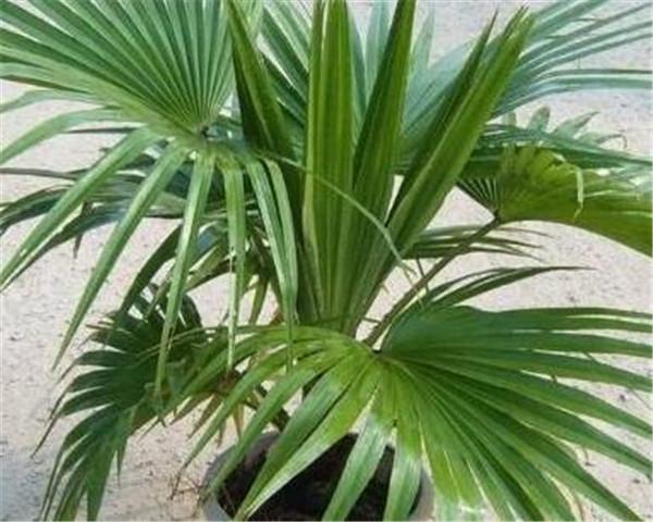 蒲葵可以盆栽吗 霸王棕和蒲葵的差别