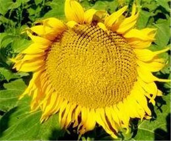 油葵芽苗菜种植技术 油葵一年能种几次