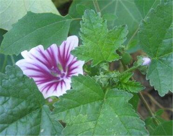 冬葵子的功效与作用 冬葵子与天葵子的区别