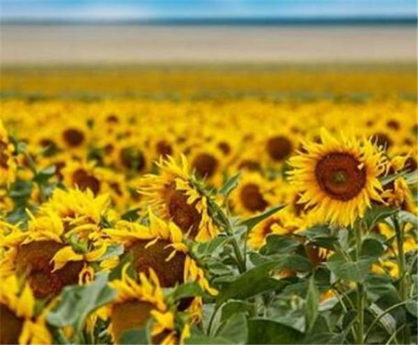 向日葵怎么辨别方向 向日葵特征和特点和形状