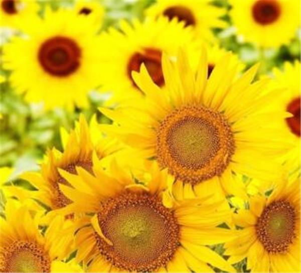 向日葵为什么会随着太阳转动 向日葵为什么会结瓜子