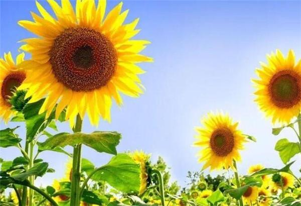 向日葵为什么不能送人 1朵向日葵花语是什么