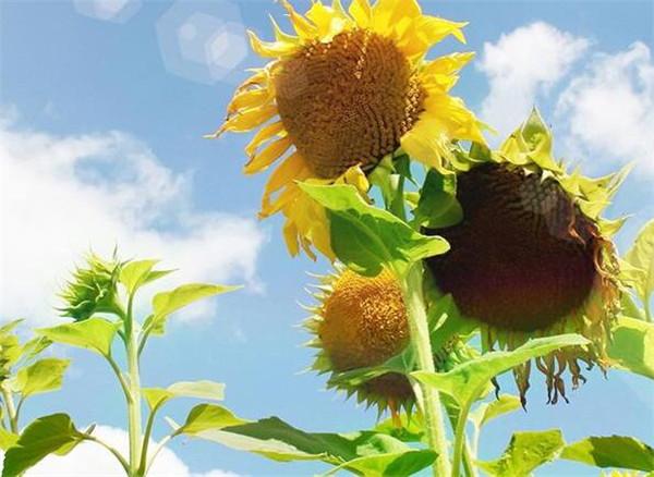 向日葵的花语和寓意 向日葵花期图片