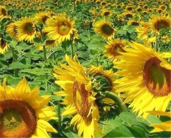 向日葵传播种子的方法 向日葵栽培方法