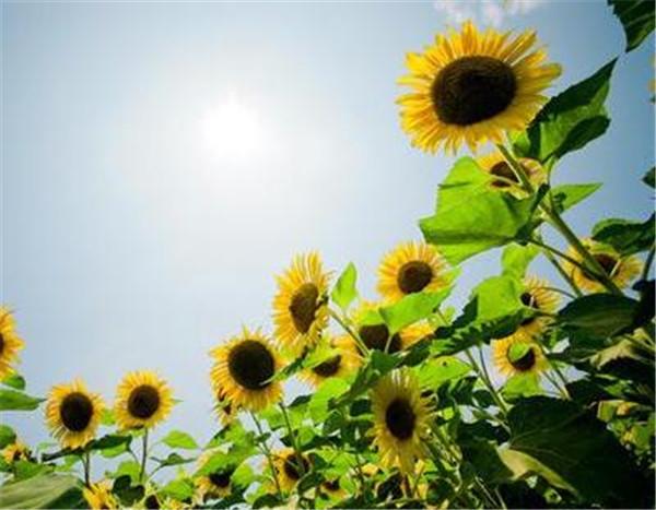 向日葵开花时间是几点左右 向日葵一年可以种两季吗