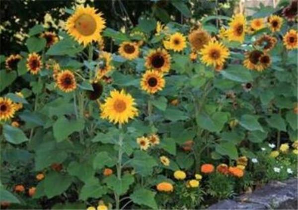 向日葵种植时间和方法 向日葵怎么养盆栽