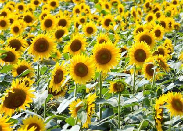 向日葵怎么醒花比较好 向日葵为何养两天就蔫了